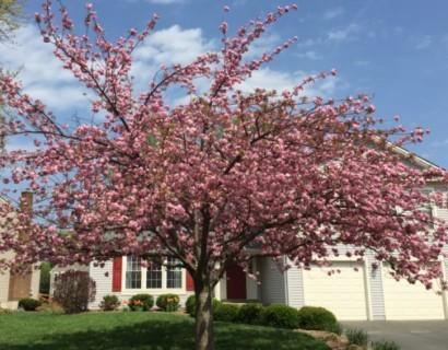 Prunus serrulata 'Kanzan' boom - Japanse sierkers
