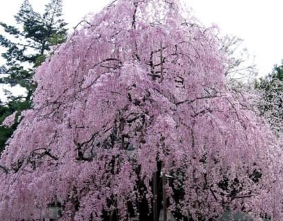 Prunus serrulata 'Kiku-shidare-zakura' boom - Japanse treursierkers