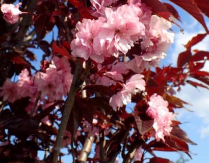 Prunus serrulata 'Royal Burgundy' - Japanse kers