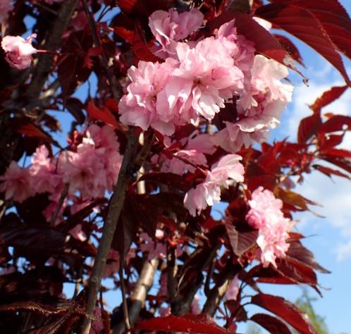 Prunus serrulata 'Royal Burgundy' op stam - Japanse kers