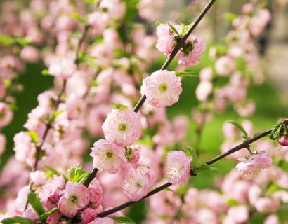Prunus triloba - amandelboompje