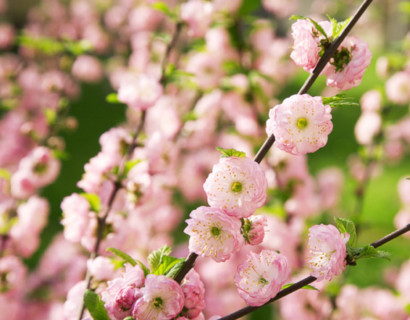 Prunus triloba op stam - amandelboompje