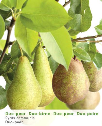 Pyrus 'Duopeer' fruitboom