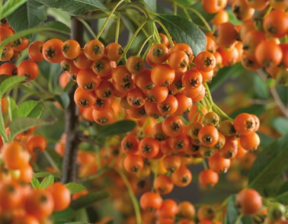 Pyracantha 'Orange Charmer'