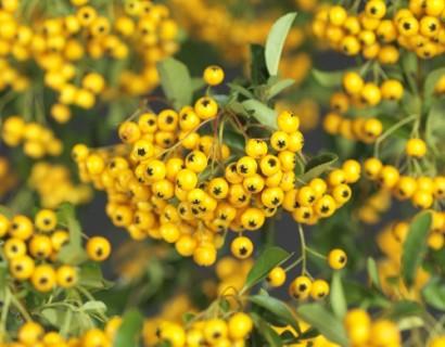 Pyracantha 'Soleil d'Or'