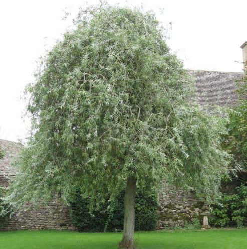 Pyrus salicifolia 'Pendula' op stam - Treursierpeer
