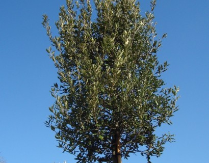 Quercus ilex steeneik in pot