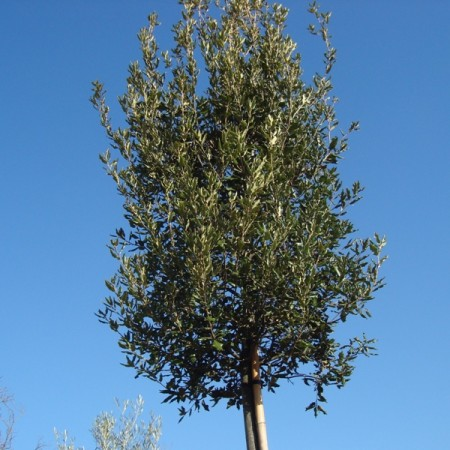 Quercus ilex steeneik pot 8/10