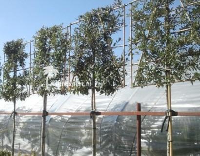 Quercus ilex voorgeleid - steeneik leivorm