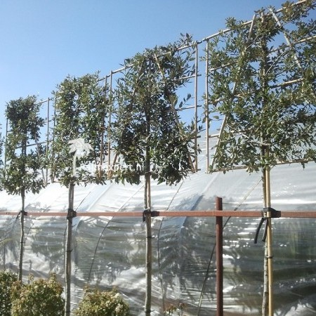 Quercus ilex steeneik in pot voorgeleid