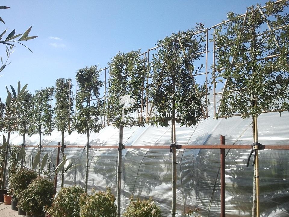Quercus ilex leivorm