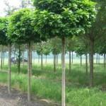 Hoe plant ik bolbomen? Hoe kies ik een bolboom?