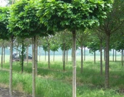 Quercus palustris 'Green Dwarf' - boleik, moeraseik bolvorm