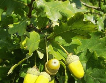 Quercus robur - inlandse eik, zomereik