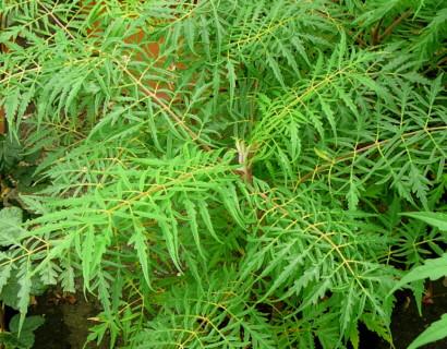 Rhus typhina 'Dissecta' - fluweelboom, azijnboom