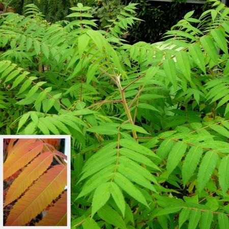 Rhus typhina - fluweelboom, azijnboom