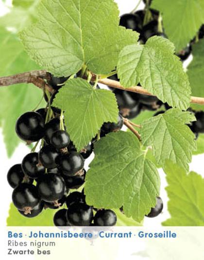 Ribes nigrum - zwarte bes