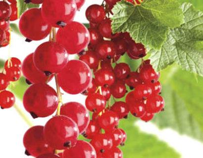 Ribes rubrum 'Jonkheer van Tets' - rode bes