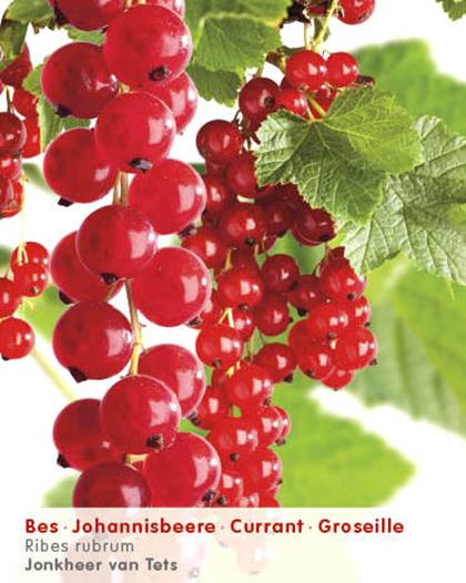 Ribes rubrum 'Jonkheer van Tets' (rode bes) planten