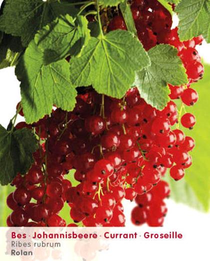 Ribes rubrum 'Rolan' - rode bes
