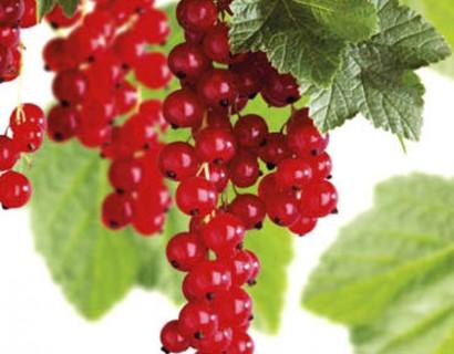 Ribes rubrum 'Rovada' - rode bes