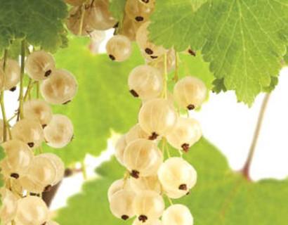 Ribes rubrum 'Witte Parel' - witte bes