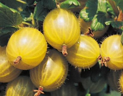 Ribes uva-crispa 'Hinnonmäki Geel' - gele kruisbes, stekelbes