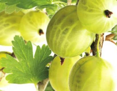 Ribes uva-crispa 'Hinnonmäki Grün'