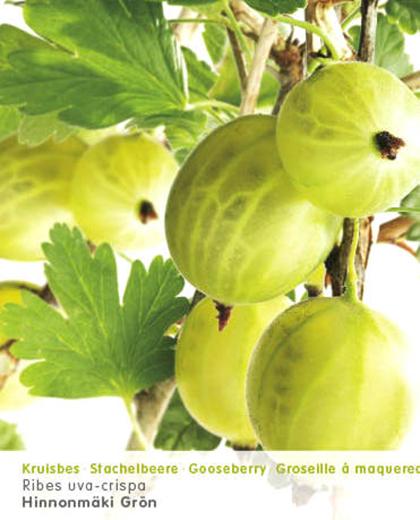 Ribes uva-crispa 'Hinnonmäki Grün' - groene kruisbes, stekelbes