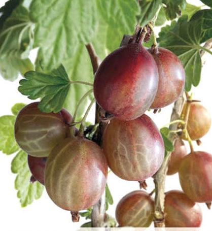 Ribes uva-crispa 'Hinnonmäki Röd' - rode kruisbes, stekelbes