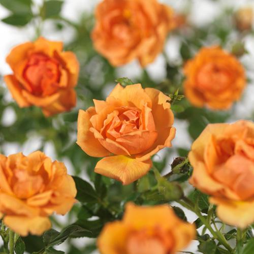 Rosa 'Amber Nectar' - bodembedekkende roos
