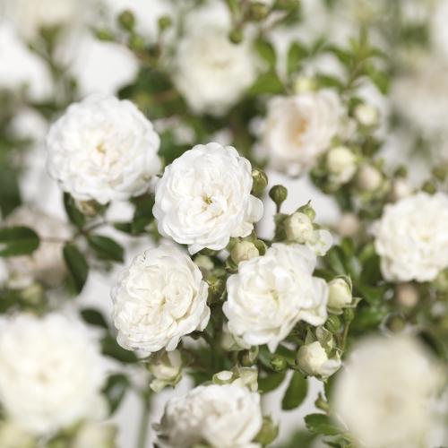 Rosa 'Crystal Fairy' - bodembedekkende roos