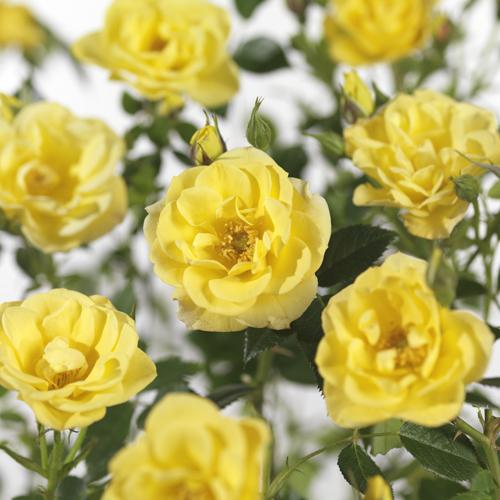 Rosa 'Dolly Dot' - bodembedekkende roos