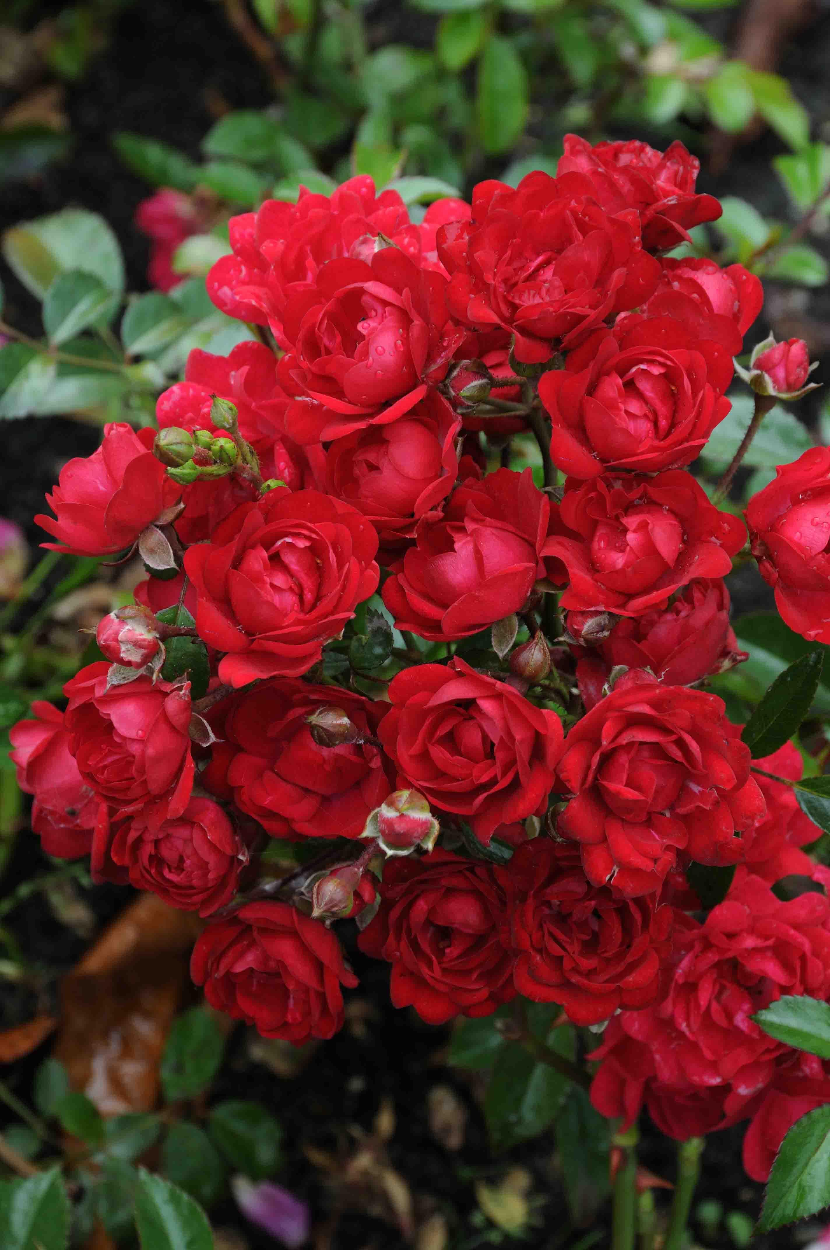 Rosa 'Fairy King' - bodembedekkende roos