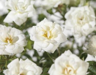 Rosa 'Kent' - bodembedekkende roos