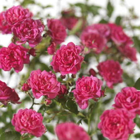 Rosa 'Lovely Fairy' - bodembedekkende roos