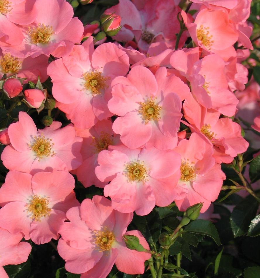 Rosa 'Pink Blanket' - bodembedekkende roos