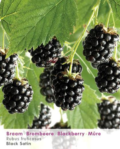 Rubus 'Black Satin' - doornloze braam