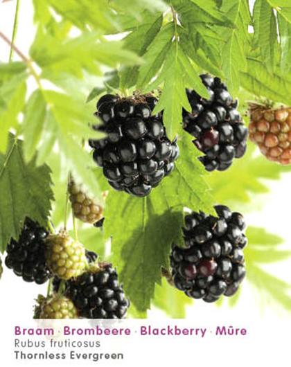 Rubus 'Thornless Evergreen' - doornloze braam