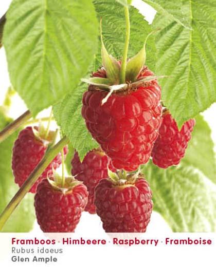 Rubus idaeus 'Glen Ample' - roze zomerframboos