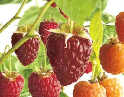 Rubus idaeus quatro-framboos