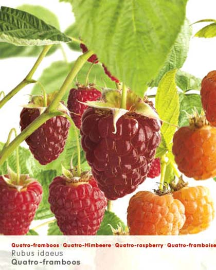 Rubus idaeus quatro-framboos - 4 frambozen in één plant