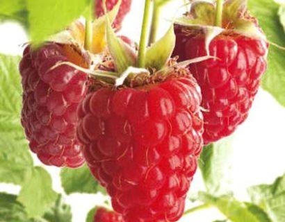 Rubus idaeus 'Tulameen'