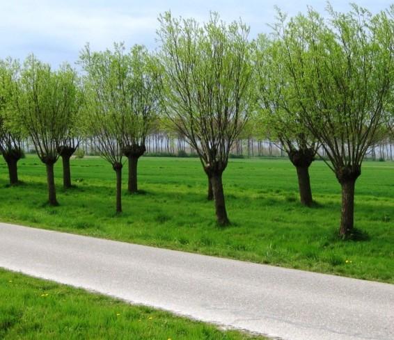 Salix alba 'Liempde' - knotwilg