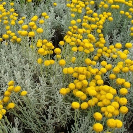 Santolina chamaecyparissus - heiligenbloem