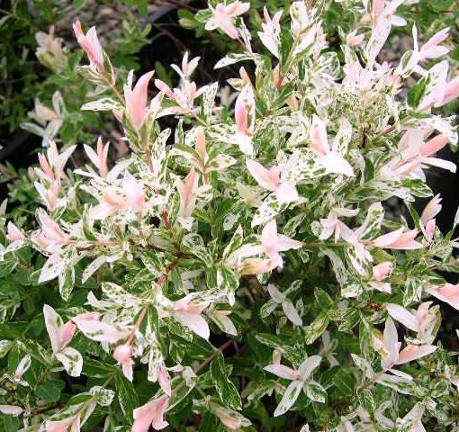 Salix integra 'Hakuro-nishiki' op stam - wilg
