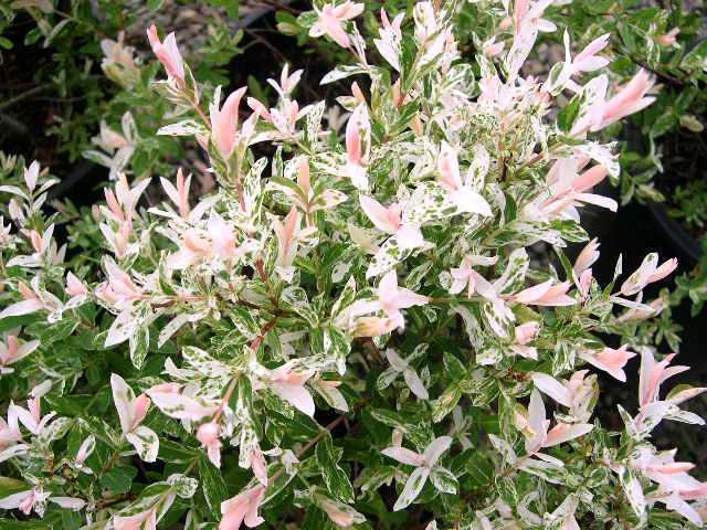 Salix integra 'Hakuro-nishiki' - wilg