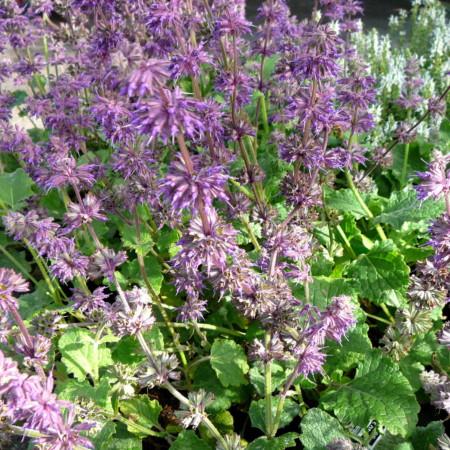 Salvia verticillata 'Purple Rain' - salie