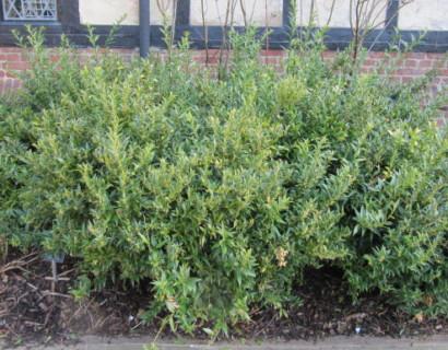 Sarcococca ruscifolia - vleesbes
