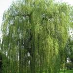 Hoe plant ik treurvormige bomen? Hoe kies ik een treurvormige boom?